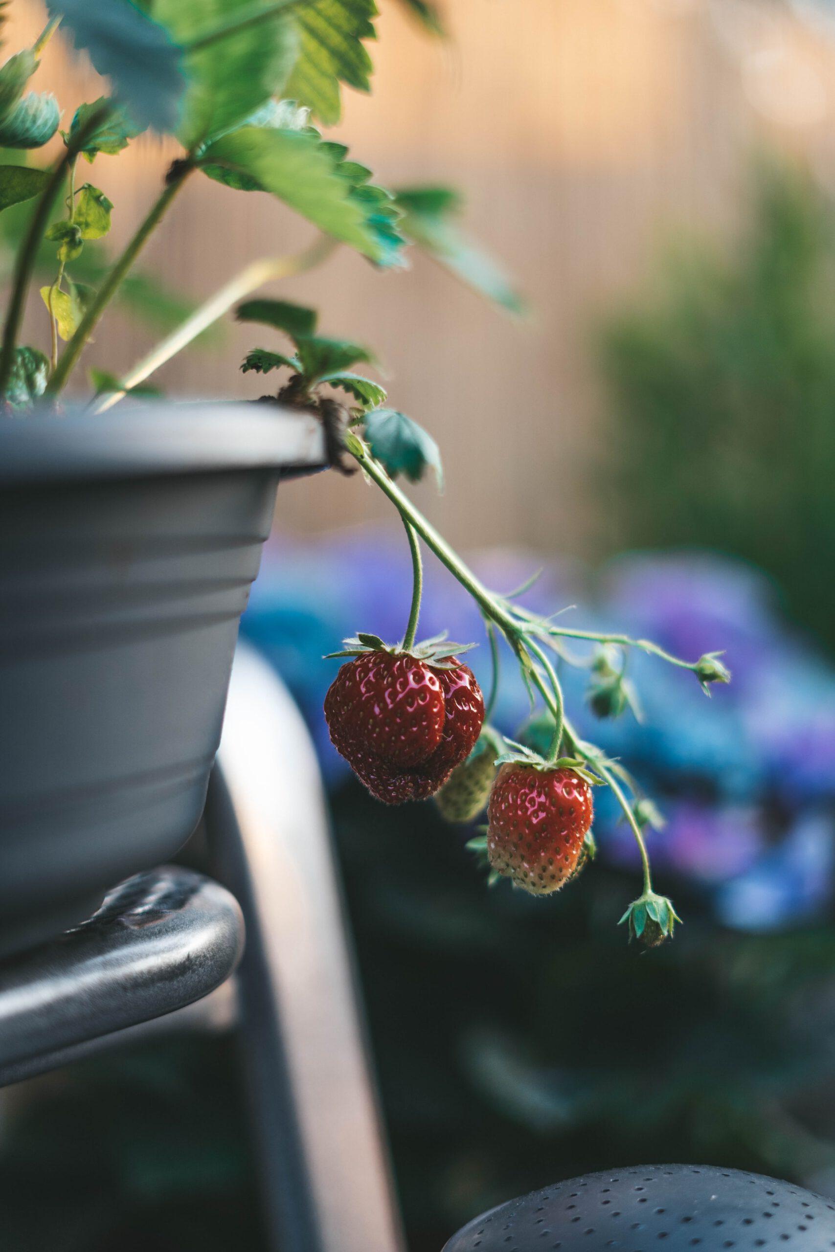 Von Kindern und Erdbeeren